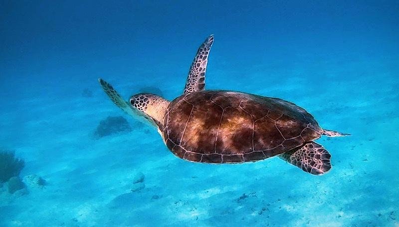 small sea turtle swimming in the ocean